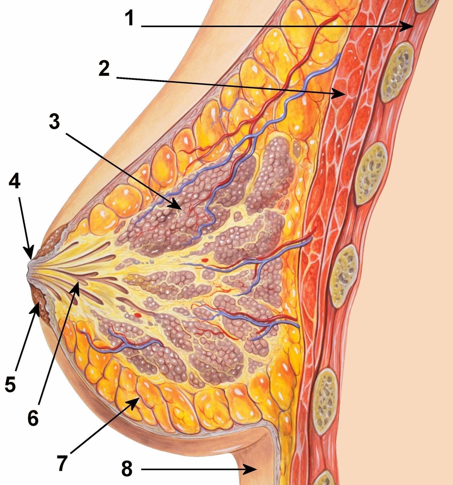 Emlő anatómiája